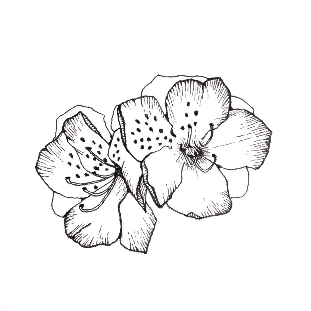 Azalea flower ink illustration