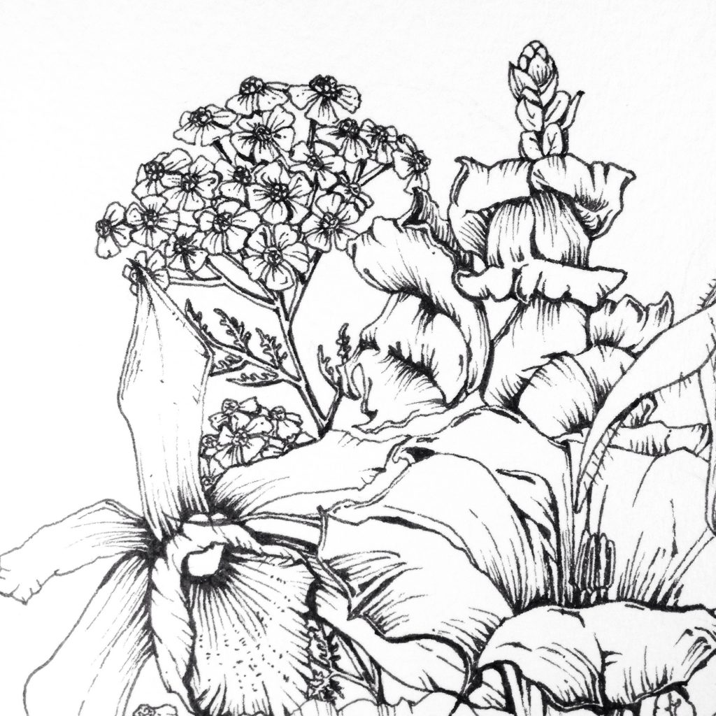 Yarrow flower ink illustration